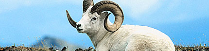 dalls-sheep-nwt